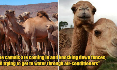 Over 10,000 Camels to Be Killed Over 5 Days to Stop Them From Drinking Water During Drou - WORLD OF BUZZ