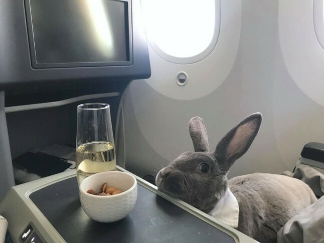 CEO's Cute Rabbit Travels Business Class From USA to Japan, Makes Us All Want Her Life - WORLD OF BUZZ 2