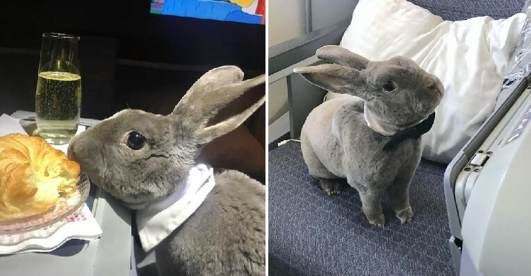 CEO's Cute Rabbit Travels Business Class From USA to Japan, Makes Us All Want Her Life - WORLD OF BUZZ 4
