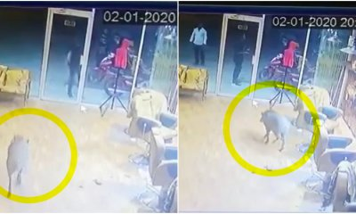 Chaos Erupted As a Wild Boar Runs Amok In Perak Barber Shop, Netizens Amused At Barber's Reaction - WORLD OF BUZZ