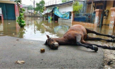 Horse Dies Of Exhaustion After Non-Stop Helping Flood Victims In Jakarta - WORLD OF BUZZ 3