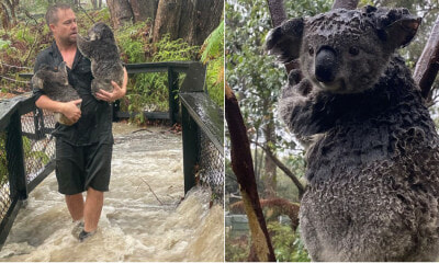 Koalas That Were Saved From The Australian Fires Are Now Being Threatened By Floods - WORLD OF BUZZ 4
