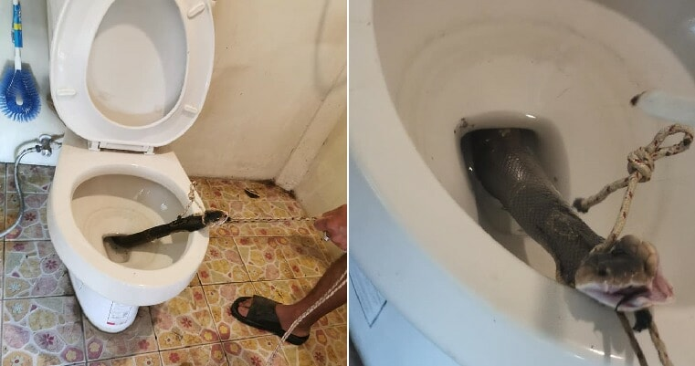 Man Discovers Large Cobra Hiding In Toilet Bowl At Home Just Before He Used It - WORLD OF BUZZ 3