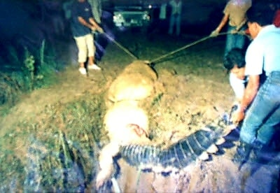 Rare Footage Of An Alligator Spotted In Puchong Caused A Stir Among Netizens, And This Is Not The First Time! - WORLD OF BUZZ 2