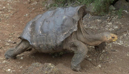 This Macho Tortoise Had So Much Sex, He Might Have Save His Species From Extinction - WORLD OF BUZZ 1
