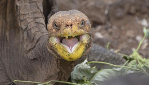 This Macho Tortoise Had So Much Sex, He Might Have Save His Species From Extinction - WORLD OF BUZZ 2