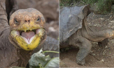 This Macho Tortoise Had So Much Sex, He Might Have Save His Species From Extinction - WORLD OF BUZZ 3