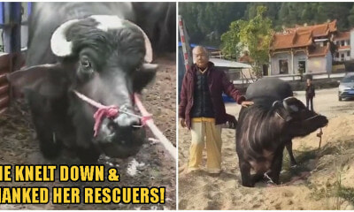 Video: Slaughterhouse Spares Pregnant Cow Who Knelt Down & Begged For Her Life - WORLD OF BUZZ 2