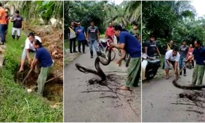 Villagers Attempt To Capture Giant Python Hiding In Gutter With Bare Hands With 'Expert' Orders From A Bystander - WORLD OF BUZZ 3
