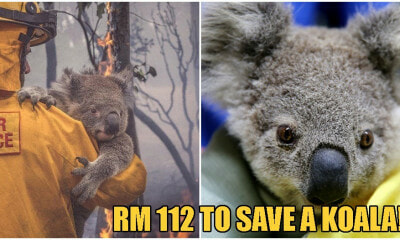 You Can Now Adopt Koalas To Support Australia Amidst The Catastrophic Bushfires! - WORLD OF BUZZ 6