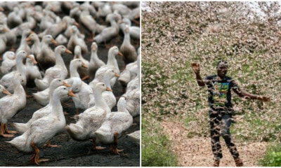 China Deploys An Army of 100,000 Ducks To Fight Off Locust Swarms Causing Food Shortage - WORLD OF BUZZ 3
