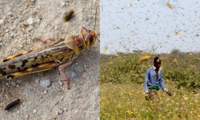 Desert Locust Devastates Somalia, Nation Now In State Of Emergency - WORLD OF BUZZ 4