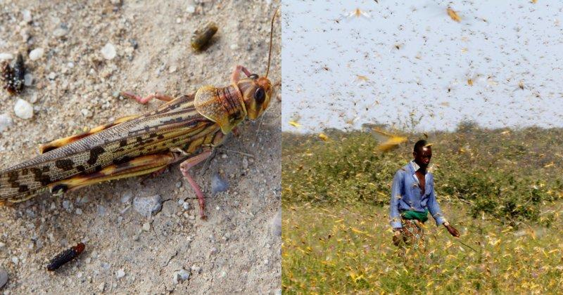 Desert Locust Devastates Somalia, Nation Now In State Of Emergency - WORLD OF BUZZ 4