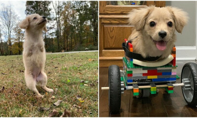 Meet Gracie, A Two-Legged Puppy Who Uses A Lego Wheelchair - World Of Buzz