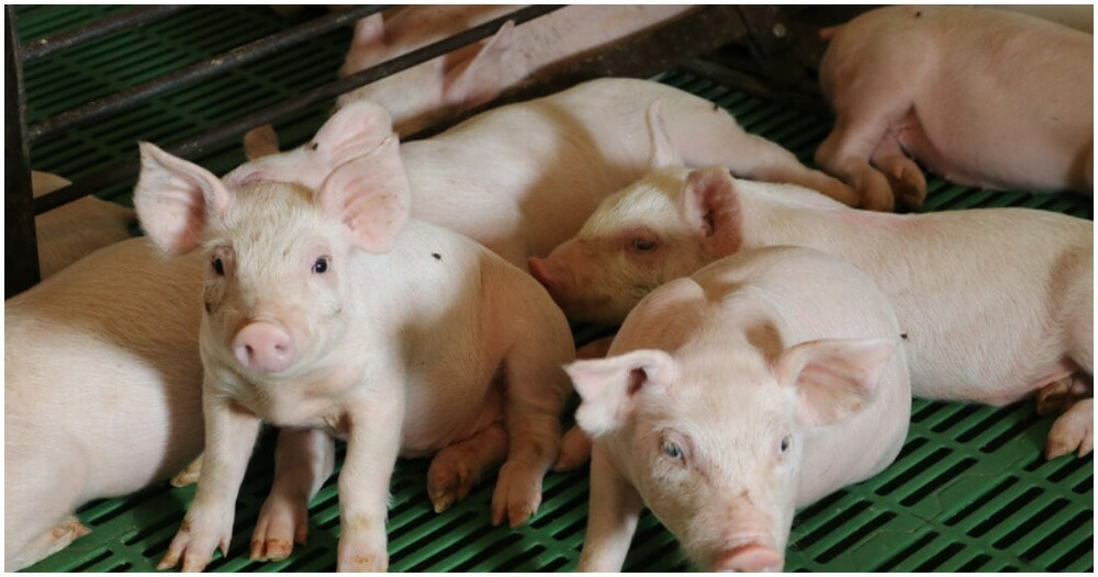 New African Swine Fever Outbreak in Indonesia Kills About 3,000 Pigs - WORLD OF BUZZ