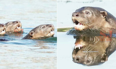 Otters Spotted In Subang Lake, A Positive Sign Of The Ecosystem There - WORLD OF BUZZ 4
