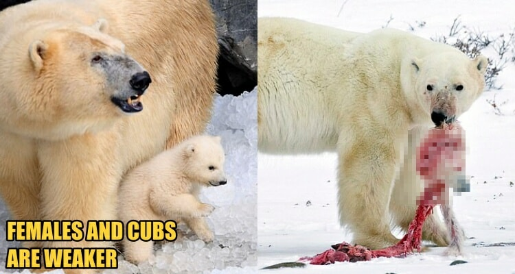 Scientist: Polar Bears are Eating Their Females and Cubs Due to Lack of Food Source - WORLD OF BUZZ 3