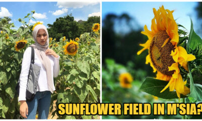 There's a Sunflower Field Right Here in Perlis, & The Instagram Pictures Are AMAZING - WORLD OF BUZZ 1