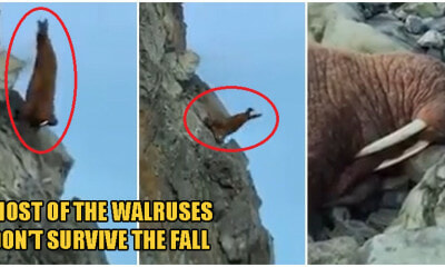 Video: Walruses Crawl & Tragically Fall Off Cliff In Despair As Global Warming Shrinks Their Habitats - WORLD OF BUZZ