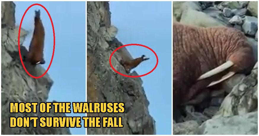 Video: Walruses Crawl & Tragically Fall Off Cliff In Despair As Global Warming Shrinks Their Habitats - WORLD OF BUZZ