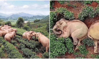 Elephants Wandered Into A Village, Got Drunk Off Of 30kgs Of Corn Wine & Fell Asleep In A Tea Garden - WORLD OF BUZZ