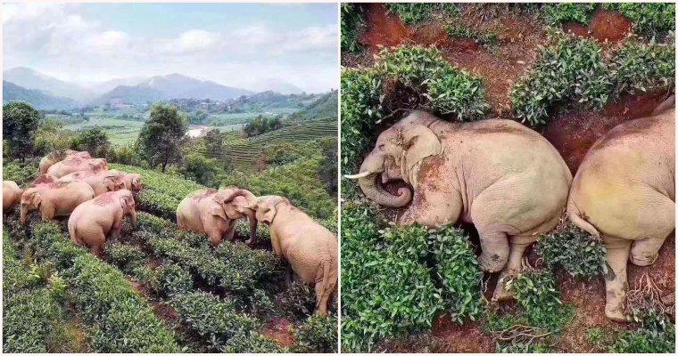Elephants Wandered Into A Village, Got Drunk Off Of 30kgs Of Corn Wine & Fell Asleep In A Tea Garden - WORLD OF BUZZ