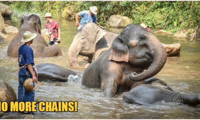 Thanks To Movement Restrictions, These Elephants Will Never Have To Carry Tou - World Of Buzz