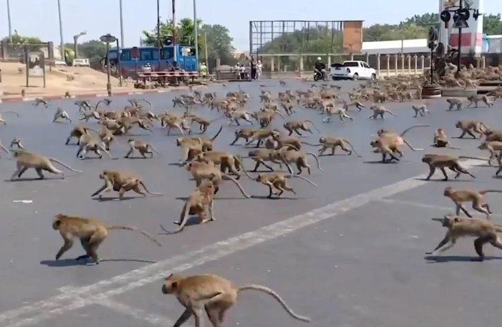 HUNDREDS Of Starving Monkeys Raid Thai Town After Covid-19 Drives Tourists Who Feed Them Away - WORLD OF BUZZ 2