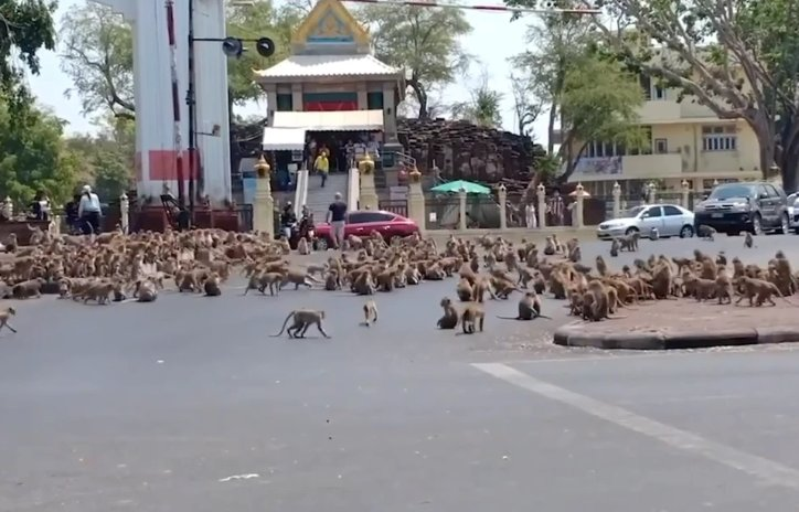 HUNDREDS Of Starving Monkeys Raid Thai Town After Covid-19 Drives Tourists Who Feed Them Away - WORLD OF BUZZ 3