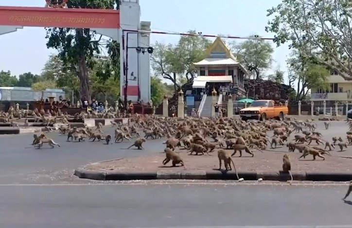 HUNDREDS Of Starving Monkeys Raid Thai Town After Covid-19 Drives Tourists Who Feed Them Away - WORLD OF BUZZ