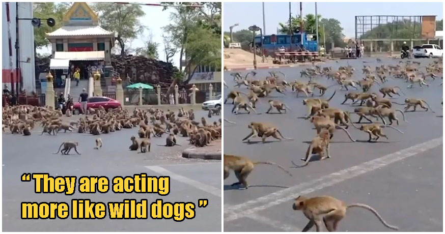 HUNDREDS Of Starving Monkeys Raid Town After Covid-19 Drives Away Tourists Who Feed Them - WORLD OF BUZZ