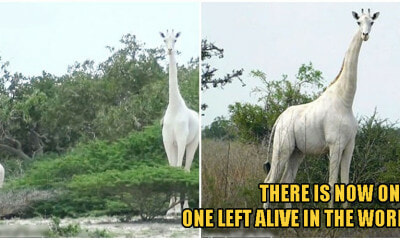 Kenya's ONLY Female White Giraffe & Her Baby Were Killed By Poachers, Leaving 1 Left In The World - WORLD OF BUZZ 2