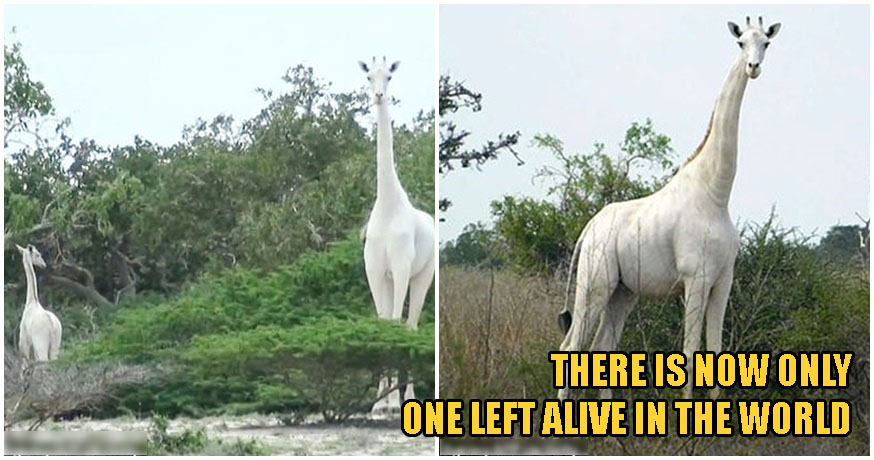 Kenya's ONLY Female White Giraffe & Her Baby Were Killed By Poachers, Leaving 1 Left In The World - WORLD OF BUZZ 2