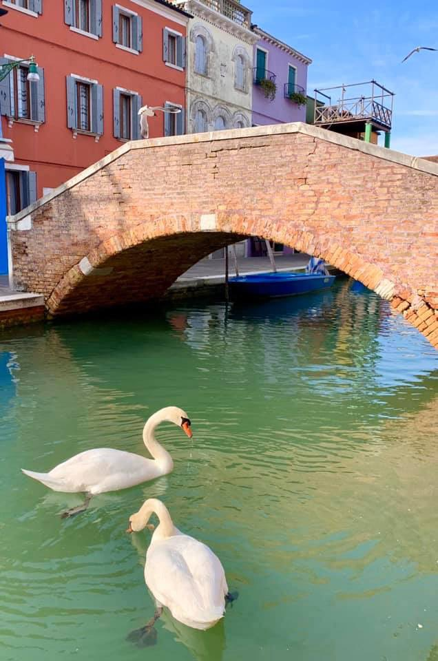 Swans & Fishes Return To Venice Canals, Water Clears Up After Italy Goes Into Covid-19 Lockdown - WORLD OF BUZZ 1