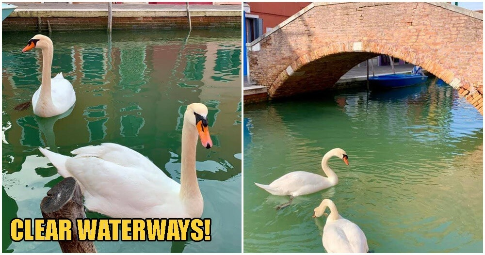 Swans & Fishes Return To Venice Canals, Water Clears Up After Italy Goes Into Covid-19 Lockdown - WORLD OF BUZZ 2