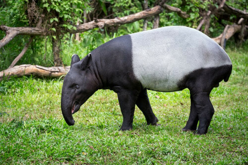 Tapir Numbers Are Rapidly Decreasing Because Of Deforestation And Road Accidents, With Only 2,500 Left Worldwide - WORLD OF BUZZ 1