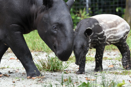 Tapir Numbers Are Rapidly Decreasing Because Of Deforestation And Road Accidents, With Only 2,500 Left Worldwide - WORLD OF BUZZ 2