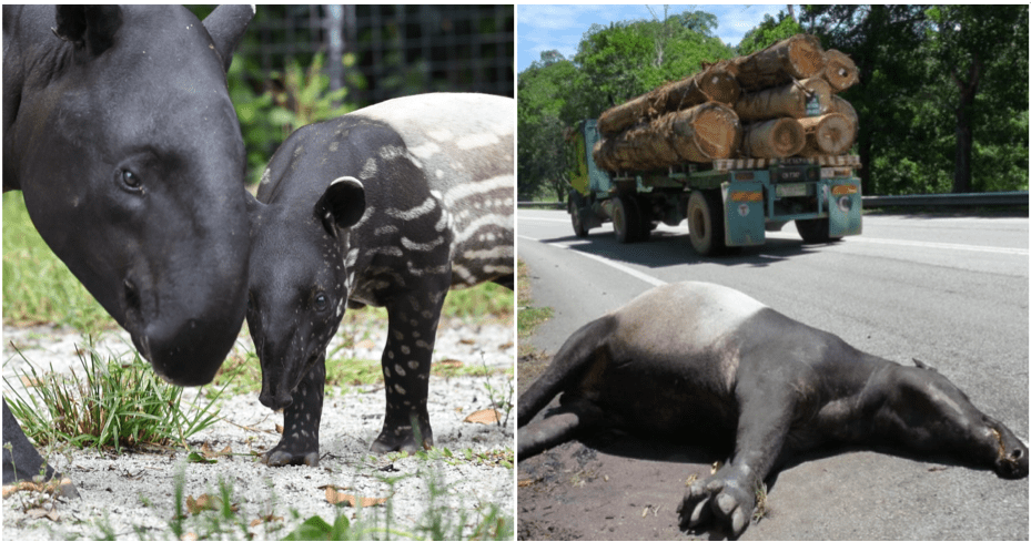 Tapir Numbers Are Rapidly Decreasing Because Of Deforestation And Road Accidents, With Only 2,500 Left Worldwide - WORLD OF BUZZ 3