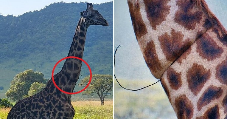 Woman Shares How Giraffe Asked Them For Help After Its Neck Got Caught in Poacher's Trap - WORLD OF BUZZ 4
