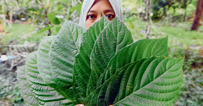 Bersatu Member Calls Government to Allow Production of Ketum and Cannabis - WORLD OF BUZZ 1