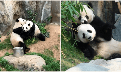 Giant Pandas Are Finally Mating After A Decade Of Trying Thanks To Covid-19 Lock Downs - WORLD OF BUZZ