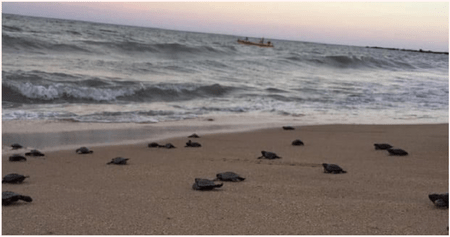Nearly 100 Endangered Hawksbill Turtles Hatch Amid Covid-19 Lock Downs - WORLD OF BUZZ
