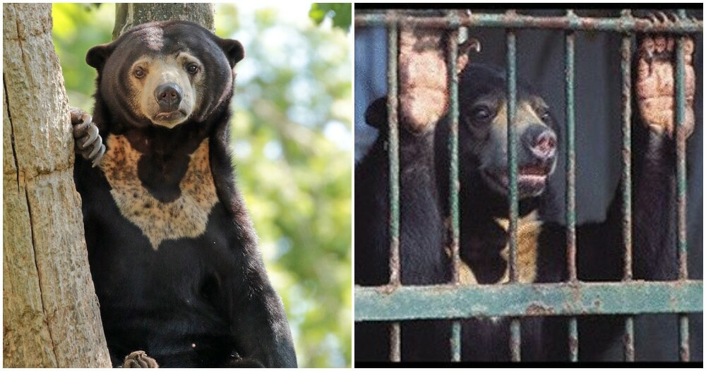 Sunbears Are Being Hunted After China Approves Its Bile As Covid-19 Cure - WORLD OF BUZZ 2