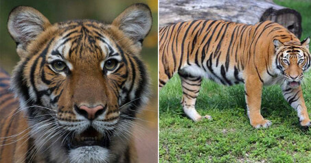 Malayan Tiger Tests Positive For Covid-19, Believed To Be Infected by Zoo Keeper Who Had No Symptoms - WORLD OF BUZZ