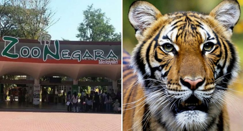 Zoo Negara Takes Protective Measures After Nadia The Tiger Was Found Positive Of Covid-19 In New York - WORLD OF BUZZ 1