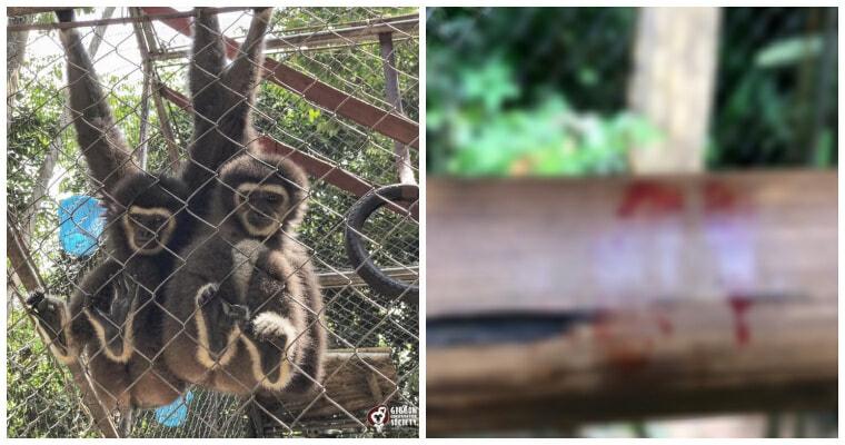 Ft For Gibbon