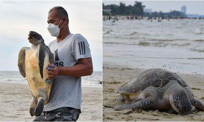 Dead Penyu Found On Terengganu Beach