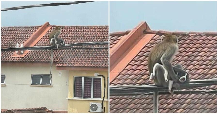 Monkey Holding Dog In Selangor 2