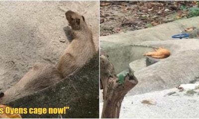 Ft Image Oyen Invade Capybaras Cage 2.0